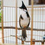 Những đặc điểm của chim chào mào bạn phải biết trước khi nuôi