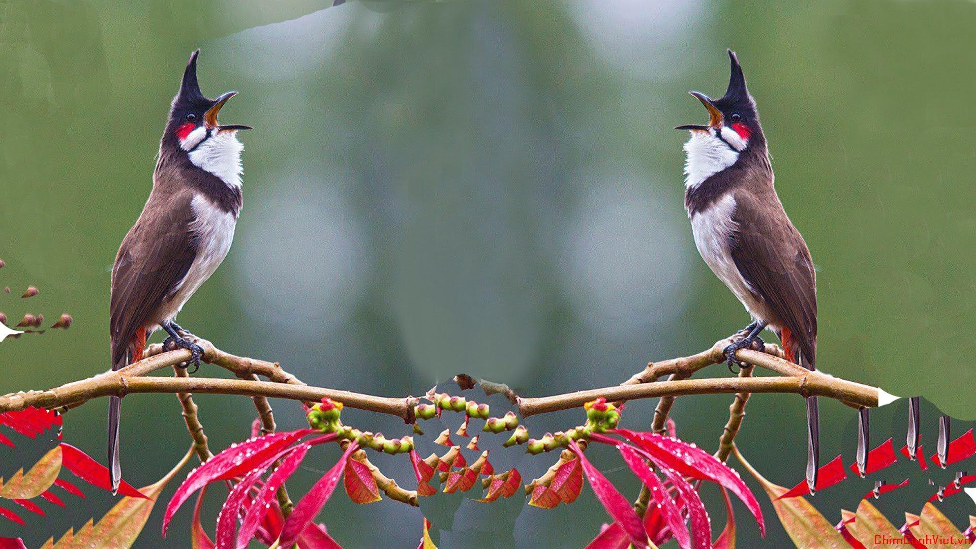 Tổng quan cách nhìn nhận và kinh nghiệm chọn chim chào mào