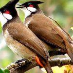 Cách Chọn Chim Trống Đẹp Hay