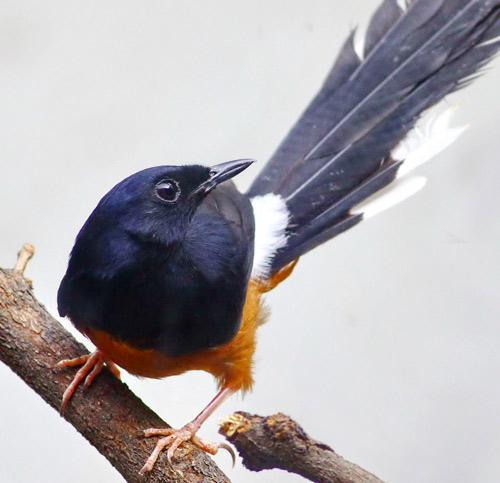 Tìm hiểu thông tin về chim Chích Chòe Lửa