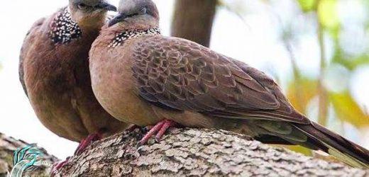 Tổng hợp kỹ thuật nuôi chim cu gáy