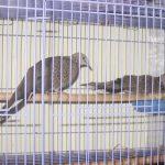 Cách chăm sóc chim gáy theo mùa