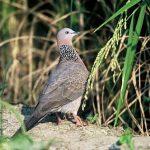 Tìm hiểu về loài chim cu gáy