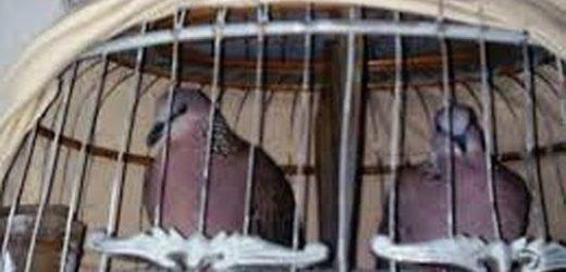 Kỹ thuật nuôi chim cu gáy sinh sản
