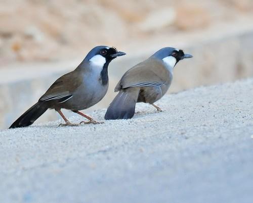 Chọn lồng nuôi chim khướu