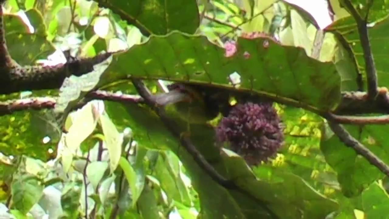 Chim Ngũ Sắc (Silver-eared Mesia)