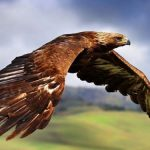 Điều kiện để nuôi chim săn mồi – Đại bàng, ưng