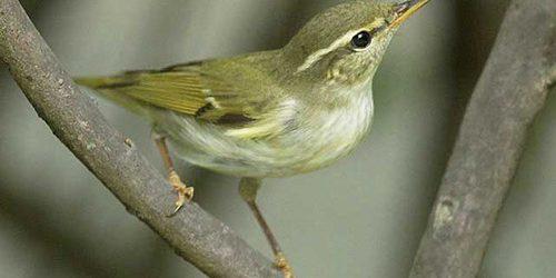 Kinh nghiệm chọn và nuôi chim sâu xanh