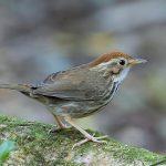 Chim tiểu mi- Kinh nghiệm nuôi và chăm sóc