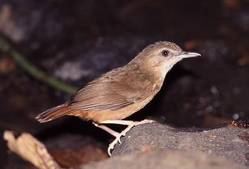 Đặc điểm cơ bản của chim tiểu mi
