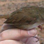 Cách vận chuyển chim tiểu mi đường xa an toàn