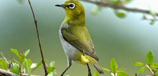 Phòng và chữa bệnh tiêu chảy cho chim vành khuyên