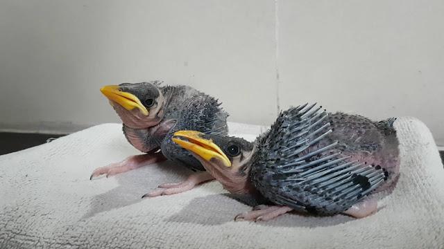 Kỹ thuật chọn và chăm sóc chim nhồng (yểng)