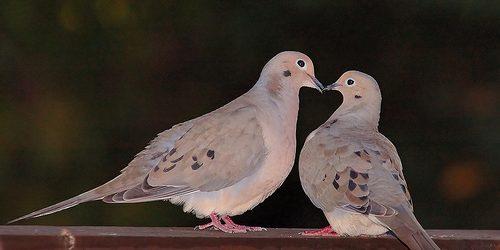 Cách nuôi chim cu gáy