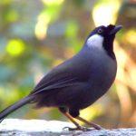 Cách thuần dưỡng chim khướu hiệu quả