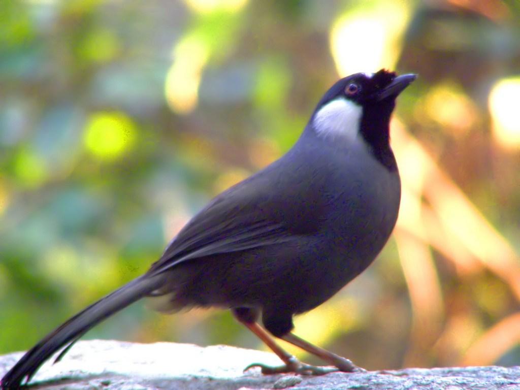 Tìm hiểu về chim Khướu