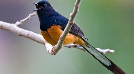 Thông tin về giống chim Chim chích chòe lửa