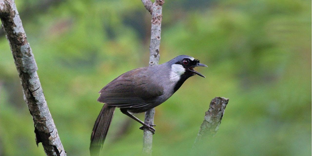 Tìm Hiểu Về Chim Khướu!