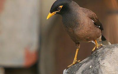 Cách phòng bệnh và chăm sóc chim sáo