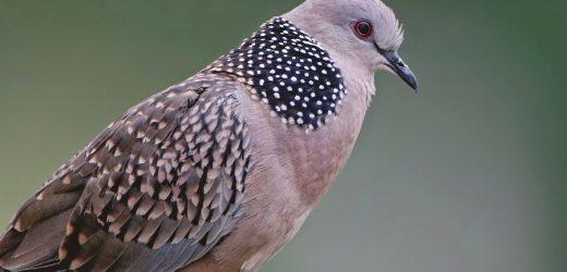 Kinh nghiệm về chọn cườm chim cu gáy