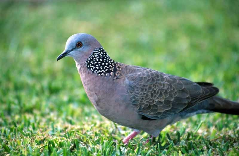Ẩn tướng chim cu gáy