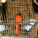 Kỹ thuật chăm sóc chim Hồng Tước