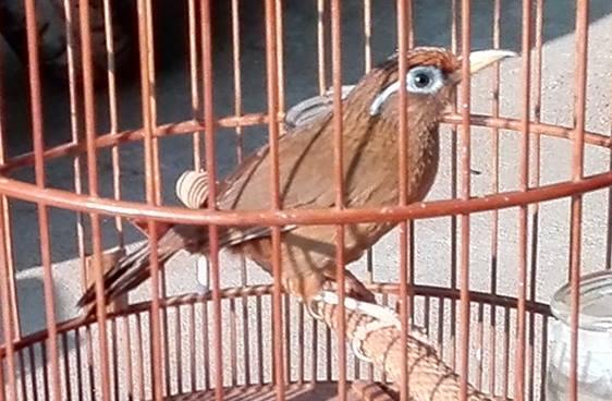 Một số thuật ngữ chơi chim Họa Mi
