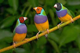 Thú chơi chim 7 màu