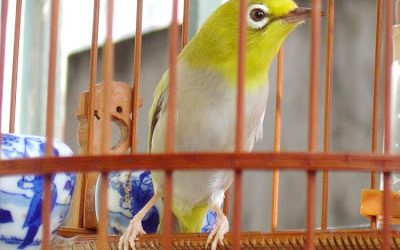 Chim vành khuyên-thú chơi mê đắm lòng người