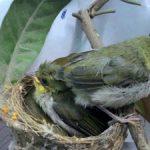 Kinh nghiệm nuôi chim khuyên con