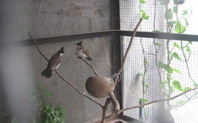 Kinh nghiệm làm lồng cho chim chào mào sinh sản