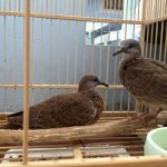 Kỹ thuật nuôi chim cu gáy sinh sản. Cách phân biệt cu gáy trống mái