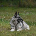 Chó săn chó Na Uy đánh giá