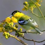 Cách nuôi chim Nghệ bổi để làm chim mồi.