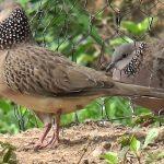 Tìm giải pháp thuần chim bổi vừa khoa học lại hiệu quả.
