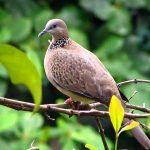 Cách chọn chim cu gáy hay theo từ chuyên môn của người miền trung! ( từ Thừa Thiên Huế – Phú Yên)