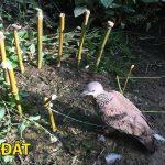 Chọn con chim để nuôi làm mồi lồng ngay từ ngoài rừng!