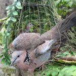 Tản mạn thú chơi chim gáy