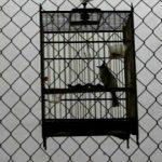 Cách chăm sóc chim chào mào bị bệnh và cách chữa trị
