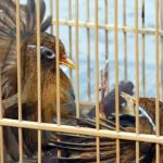 Cách nuôi chim Họa Mi Chiến
