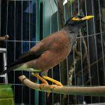 Kinh nghiệm nuôi chim sáo qua nhiều giai đoạn