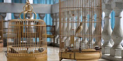 Kinh nghiệm nuôi chim sơn ca