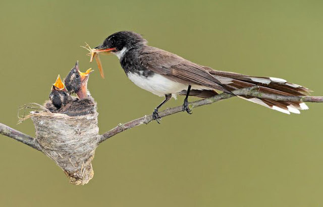 Cách nuôi rẻ quạt non – Chim rẻ quạt