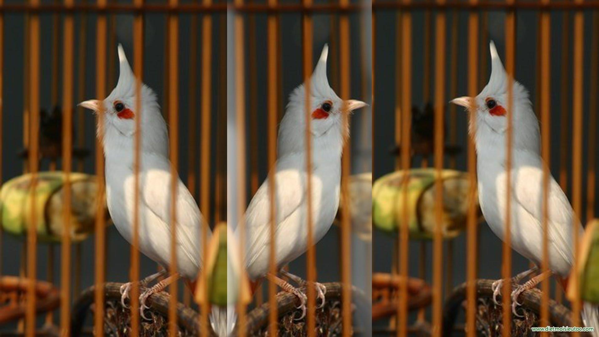 Vài lời khuyên về cách chăm sóc chim chào mào