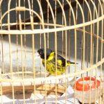 Từ chim hoang dã thành chim yến nhà