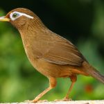 Tìm hiểu thêm về Chim Họa Mi