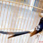 Xu hướng chọn chim Chích Chòe Lửa!