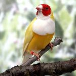 Một số loài Finch đẹp