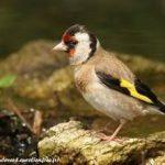 Chim sắc cánh vàng (Carduelis Carduelis )