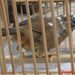 Kinh nghiệm chọn mua và chăm sóc chim Họa Mi chuyên nghiệp (Phần 3)